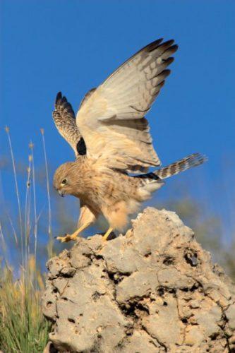 Lesser kestrel landing on rock. This picture was taken in the Kgalagadi Transfrontier Park (Kalahari) in South Africa.