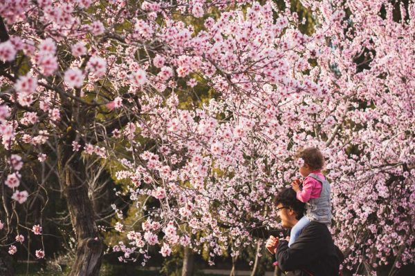 Disfruta en Madrid del espectáculo de miles de almendros en flor 2021