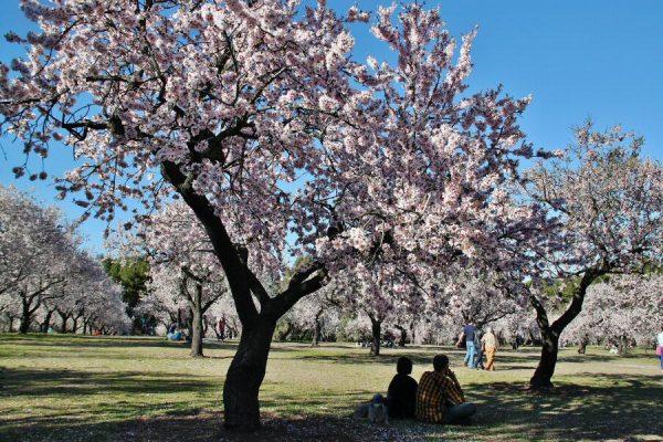 Vive en Madrid un espectáculo natural con miles de almendros en flor