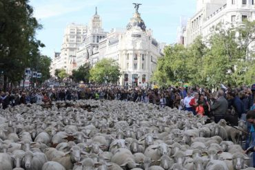 2000 ovejas circularán por Madrid en la Fiesta de la Trashumancia