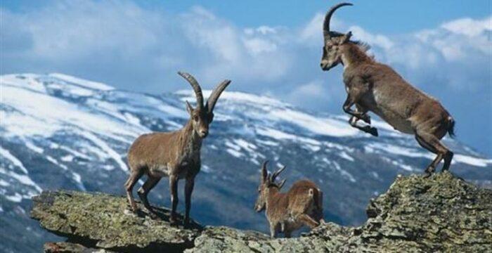 Superpoblación de cabras montesas en la Sierra de Guadarrama