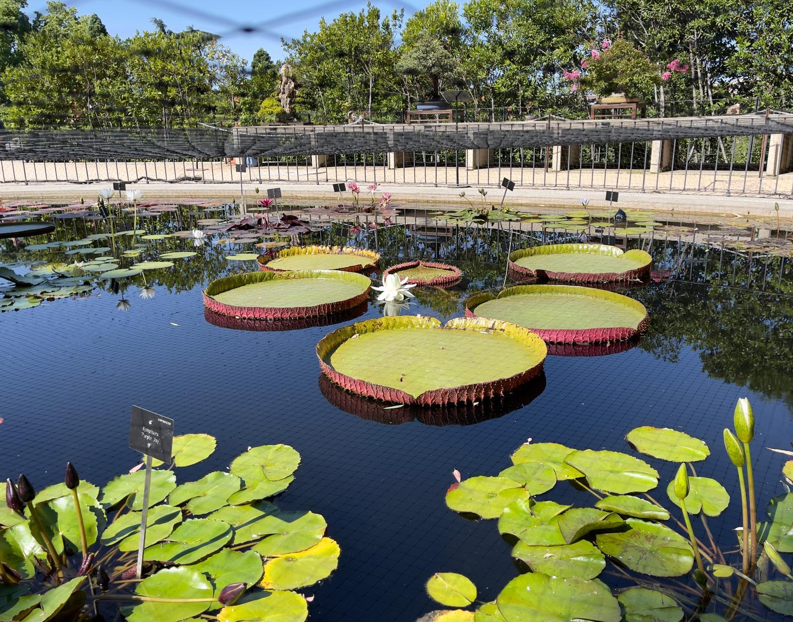 Florece el espectacular nenúfar gigante Victoria del Real Jardín Botánico