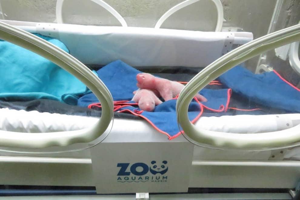 Nacen osos panda gigantes gemelos en el Zoo Aquarium de Madrid